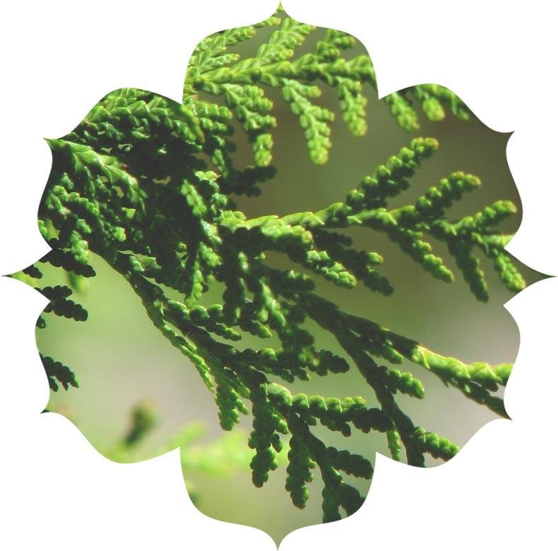 Cedar wood ingredient in skincare