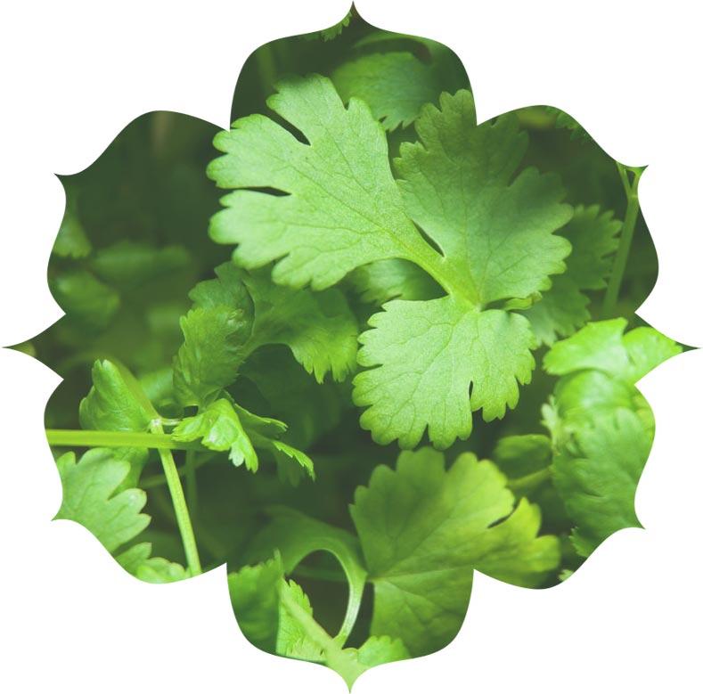 Coriander ingredient in skincare