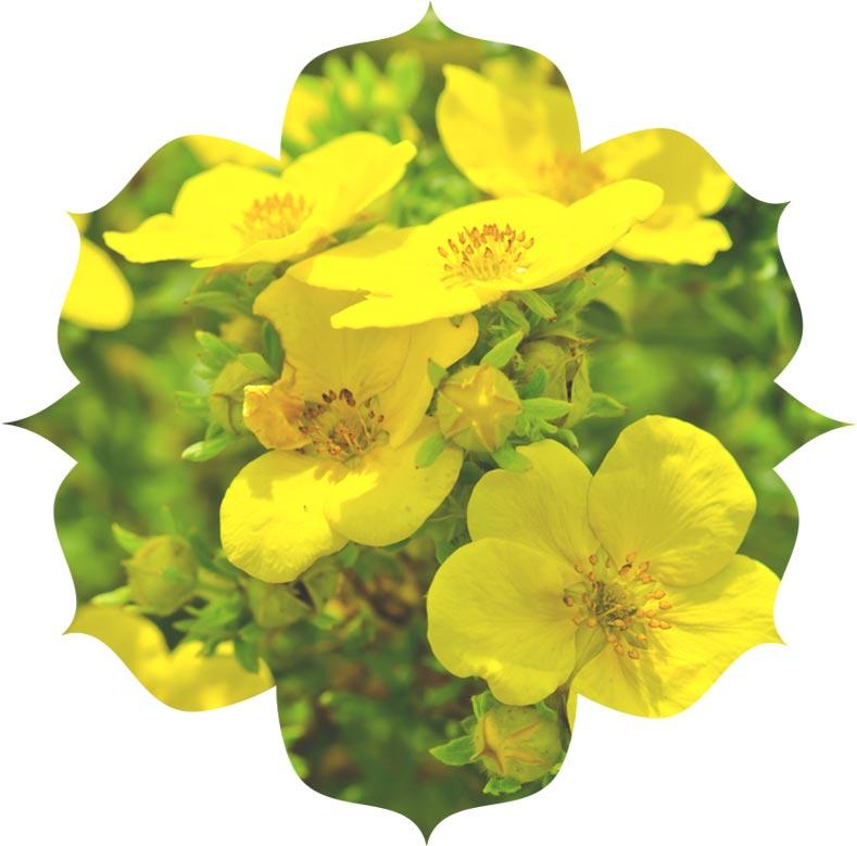 Evening primrose ingredient in skincare