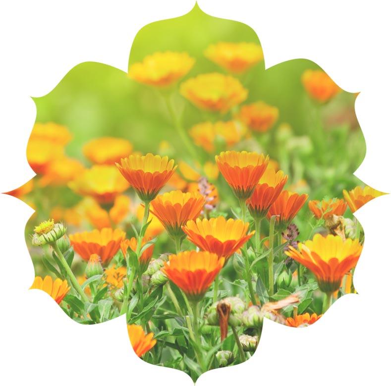 Marigold ingredient in urban veda skincare