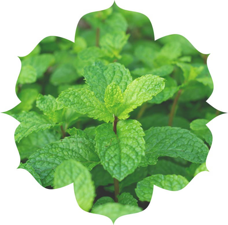 Peppermint ingredient in urban veda skincare