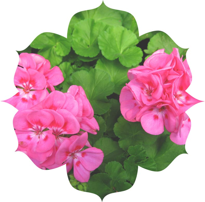 Rose Geranium ingredient in skincare