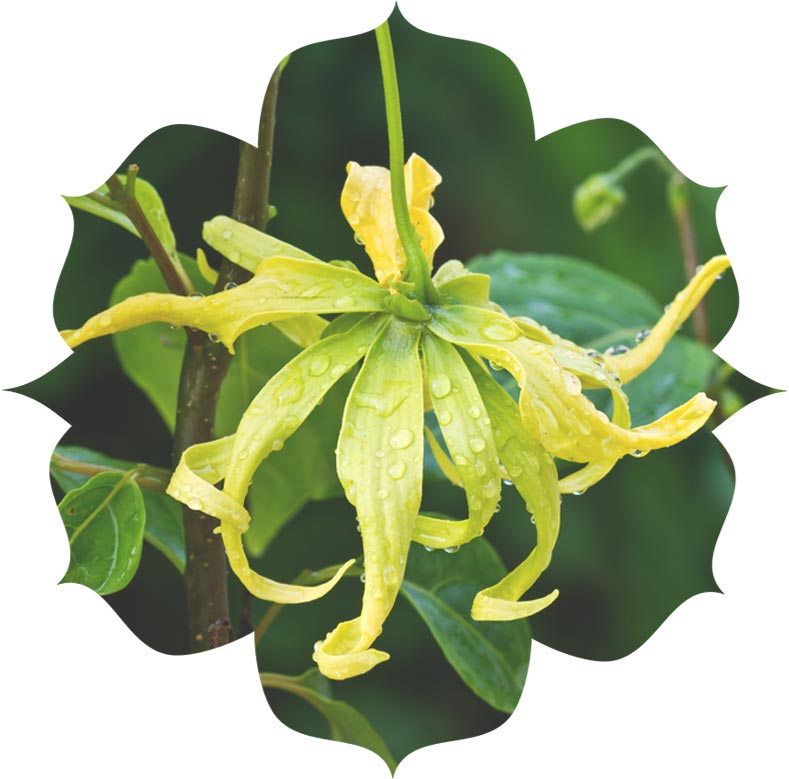 Ylang Ylang ingredient in skincare