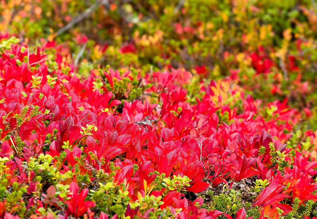 Bearberry Plants in skincare