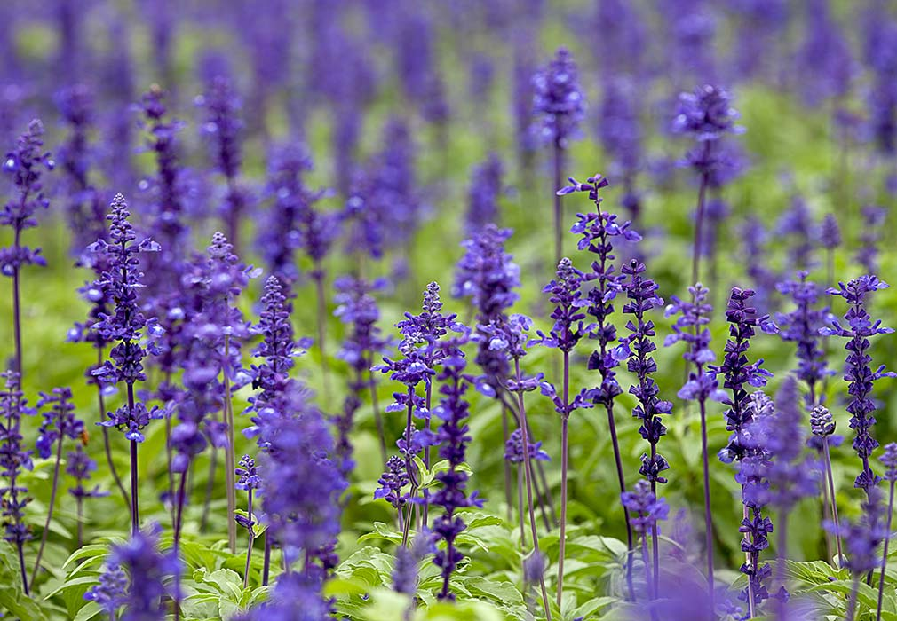 Clary Sage in skincare