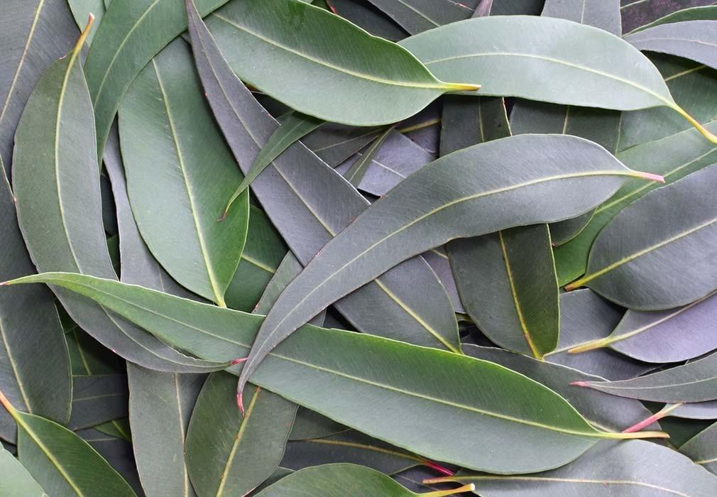 Eucalyptus in skincare