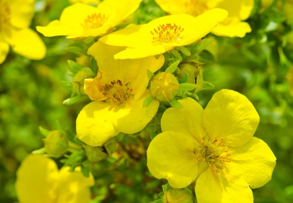 Evening primrose skincare