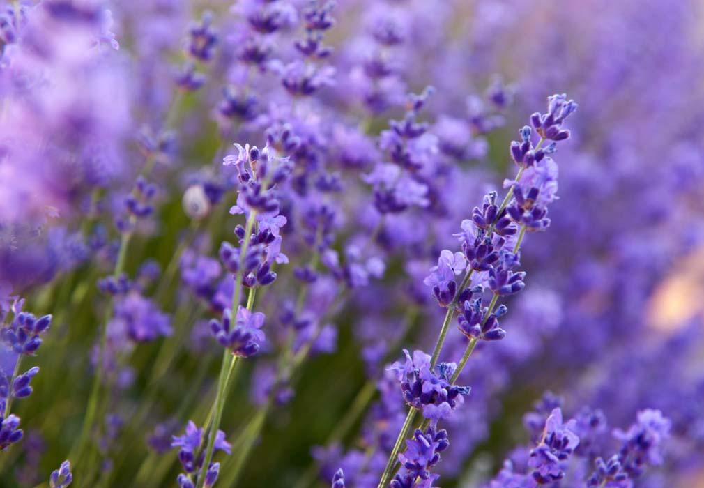Lavender in skincare
