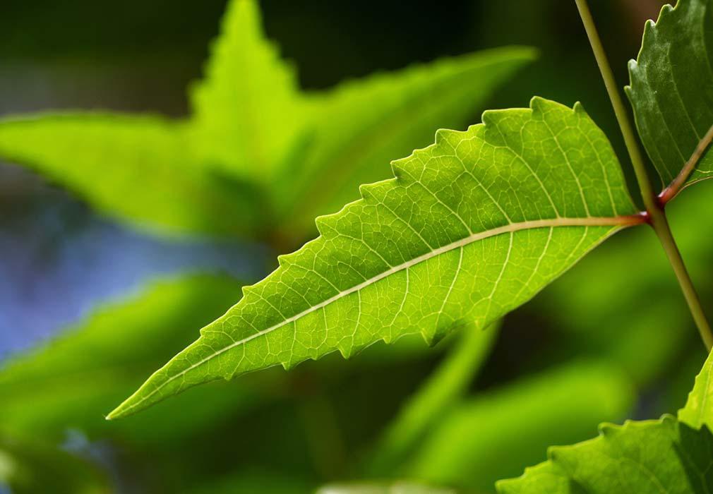 Neem leaf