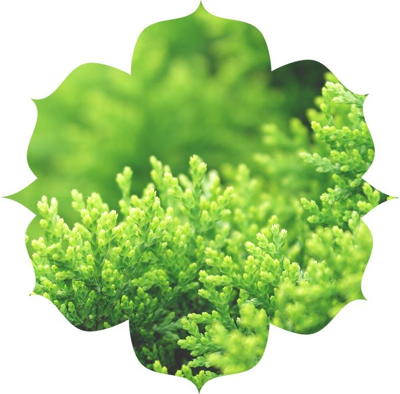 Mediterranean Cypress in skincare